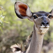 A female African Kudu with her nose in the air